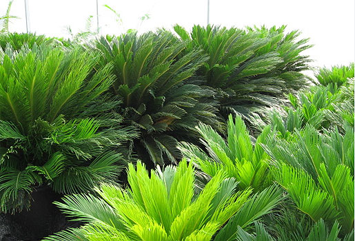 Cycad fertiliser brings results