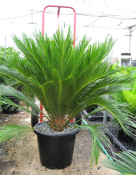 buy cycas revoluta and cycads and palm trees online. Black Bedroom Furniture Sets. Home Design Ideas